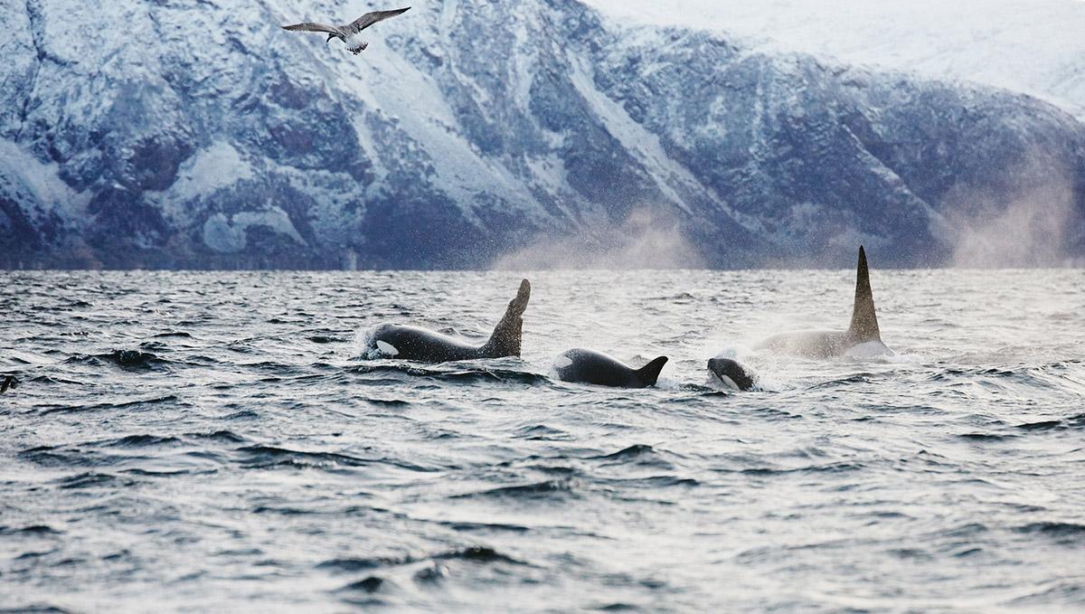Orques norvege