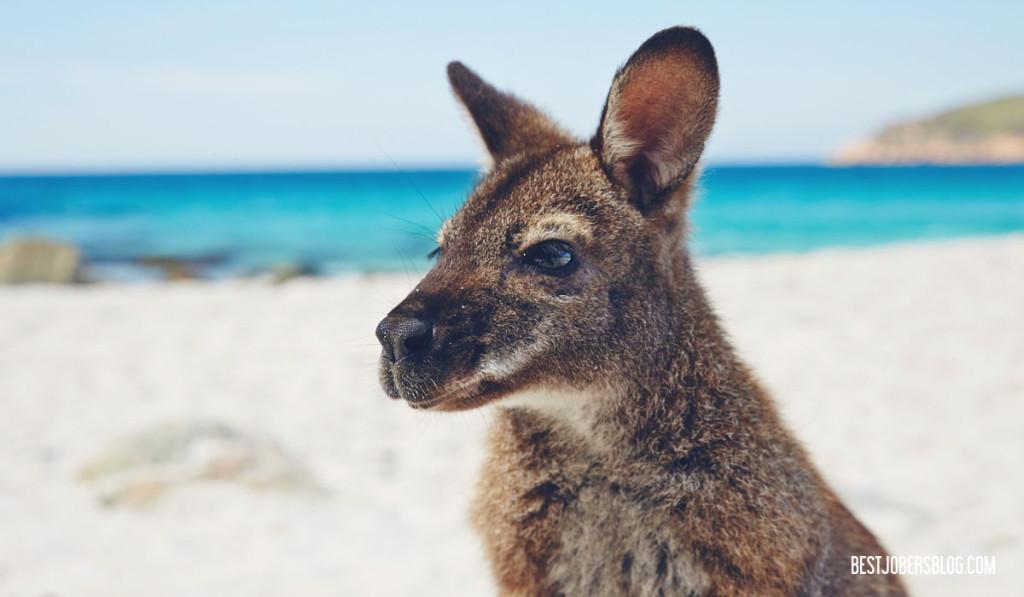 Wallaby plage tasmanie