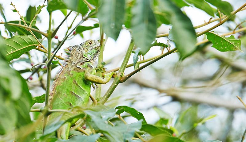 ou voir des iguanes mexique