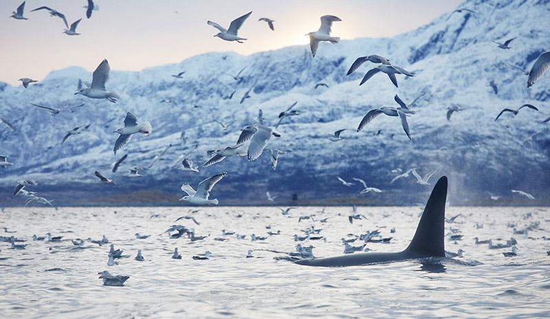 ou voir des orques en norvege