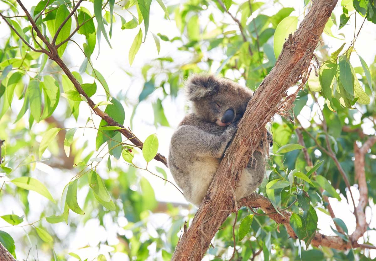 Koala-Great-Ocean-Road-Australie