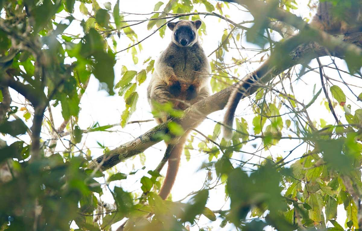 Tree-Kangourou-Australie
