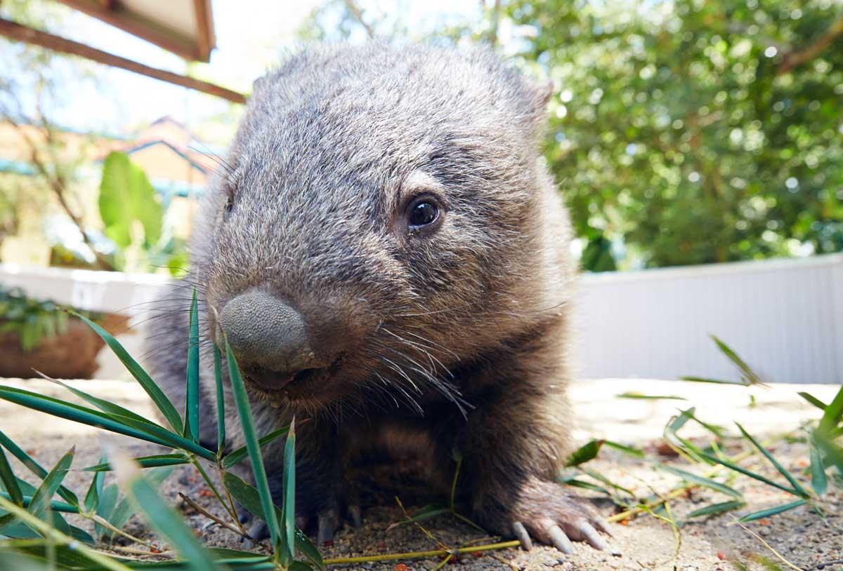 Wombat-Australie