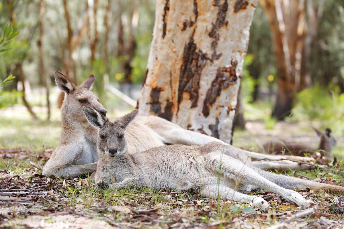 Girraween-National-Park-Kangourou