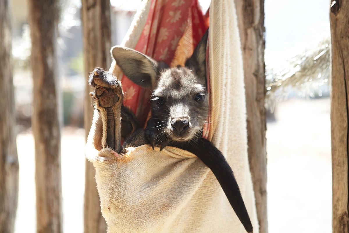Myella-farm-stay-australie-kangourou