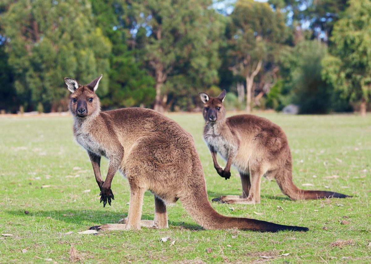 kangourou-Kangaroo-island-australie