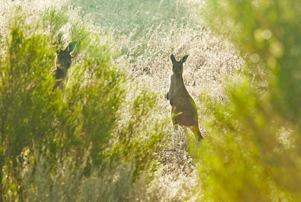 spots-kangourou-australie