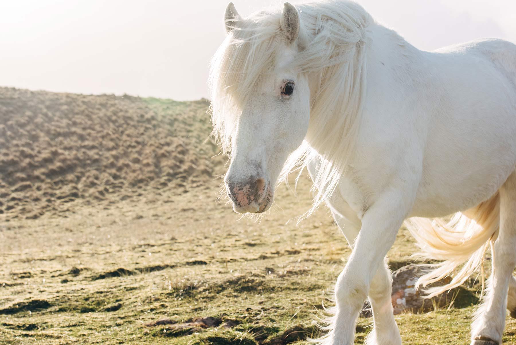 Luskentyre beach ecosse cheval blanc