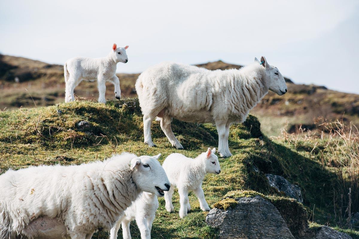 naissance mouton ecosse