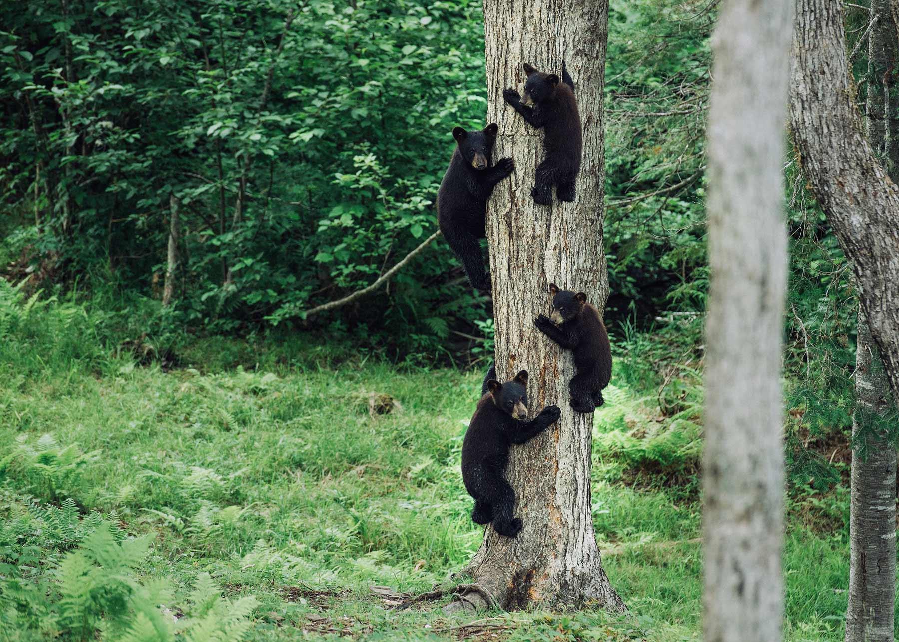 ou voir des ours en liberté au canada