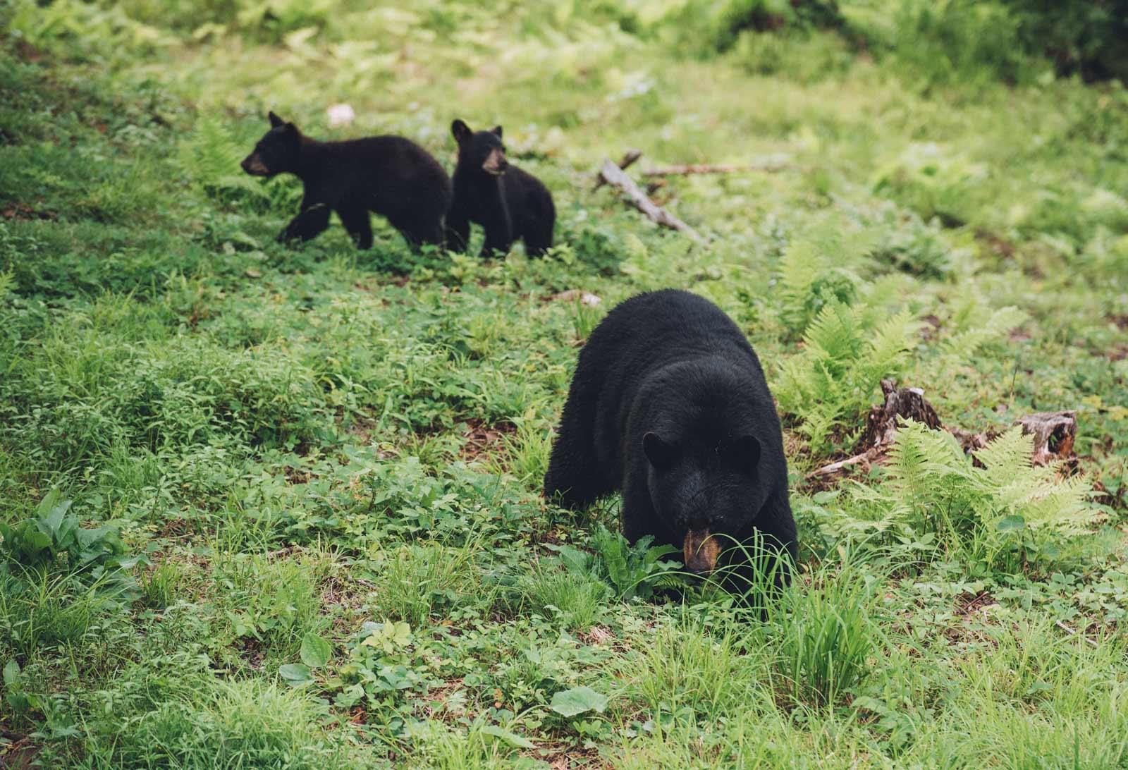 ou voir des ours noirs au canada