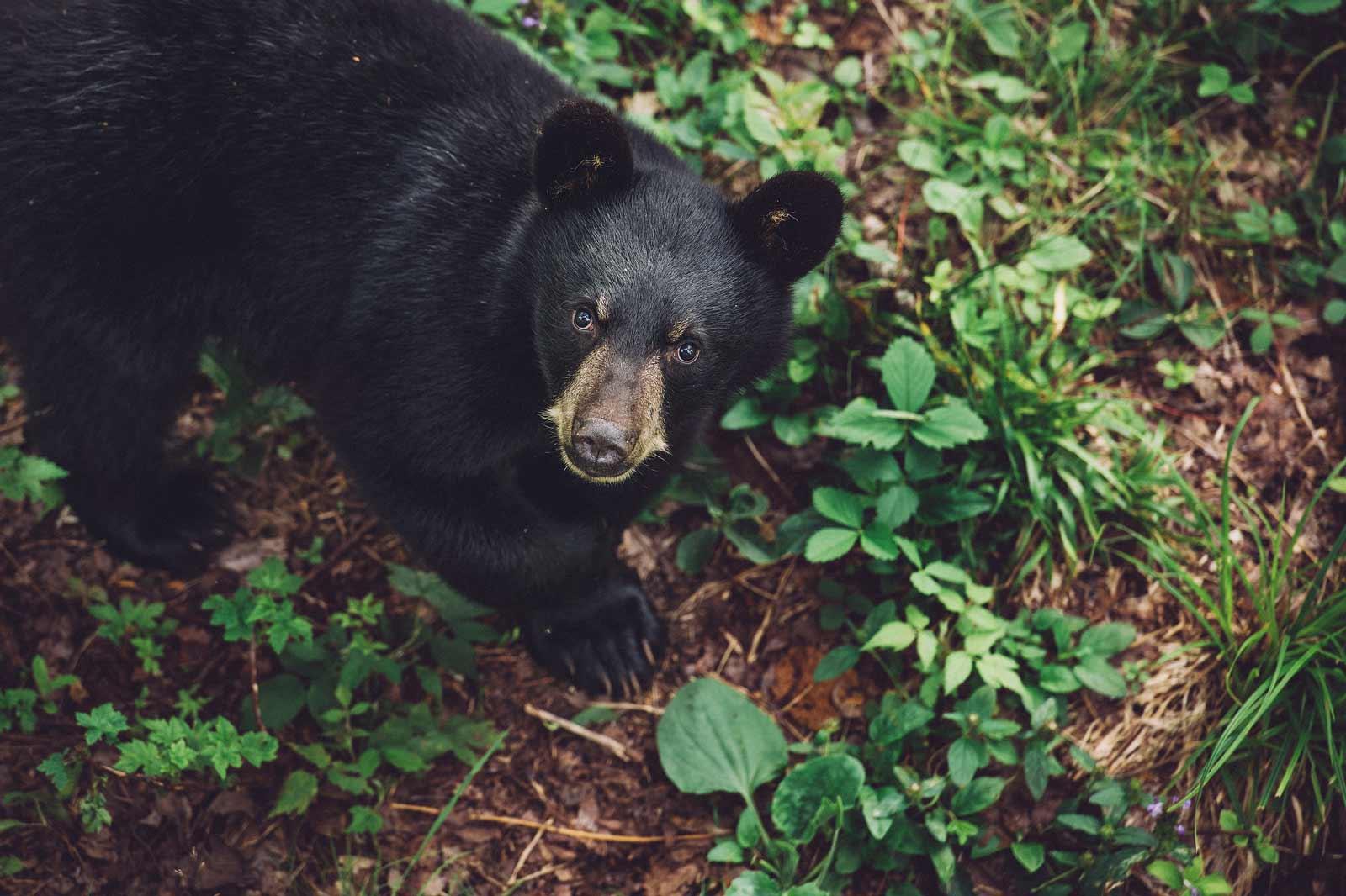 ours nouveau brunswick