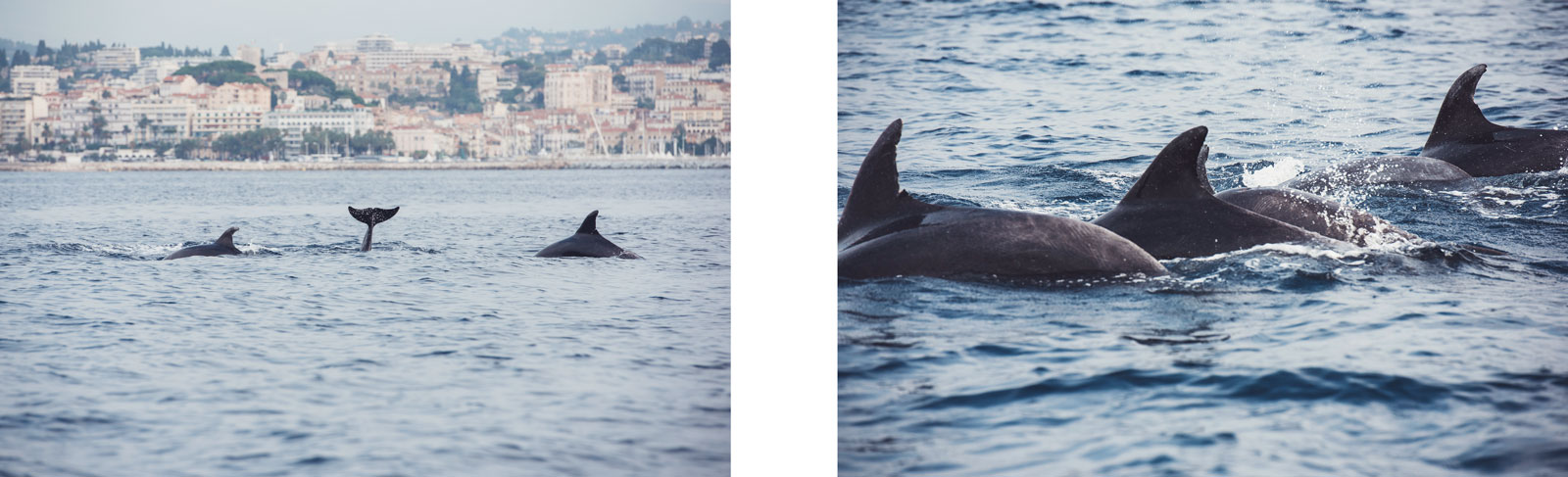 dauphins cannes
