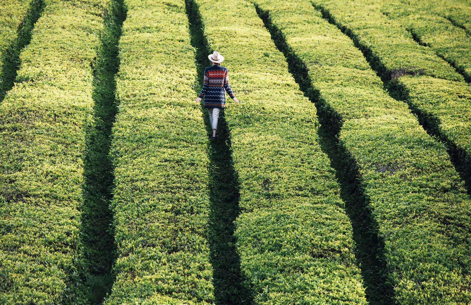 plantation de thé en europe