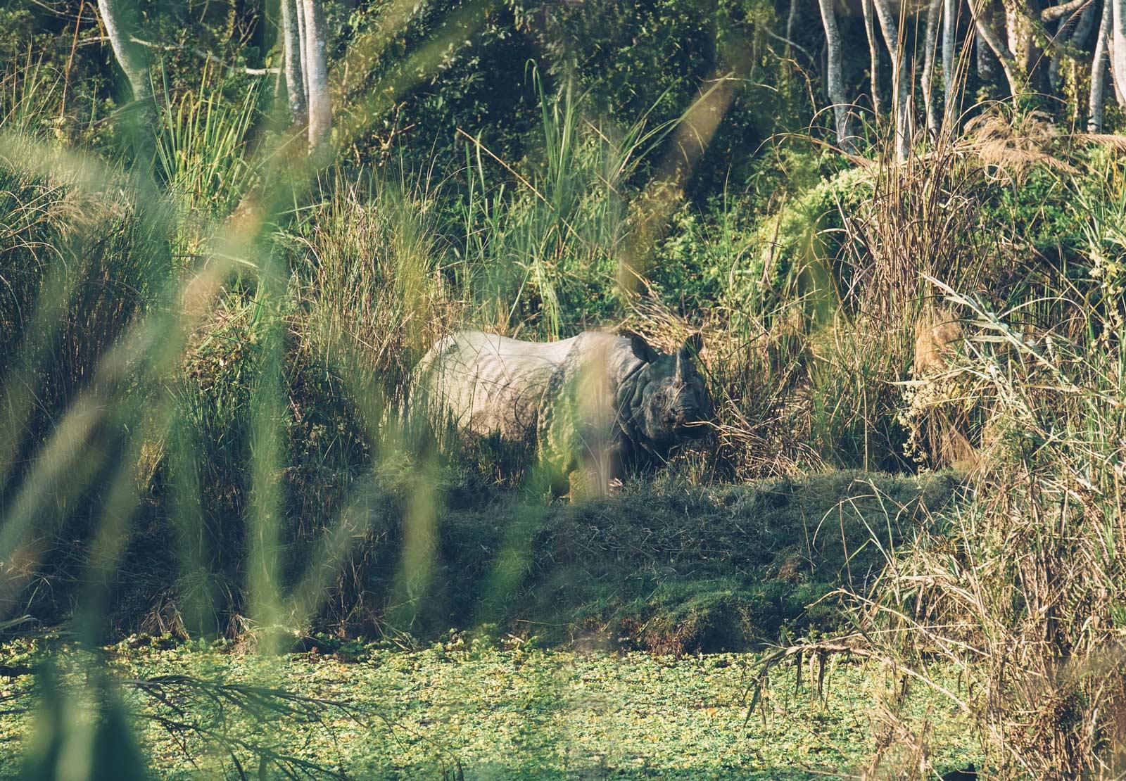 rhinocéros chitwan national park nepal