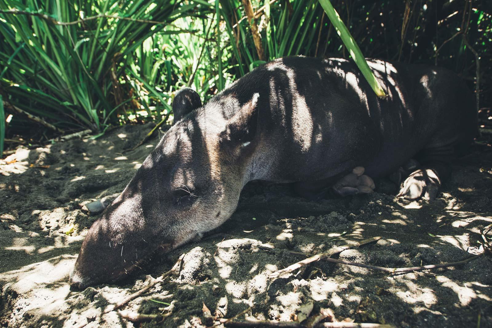 tapir corcovado costa rica