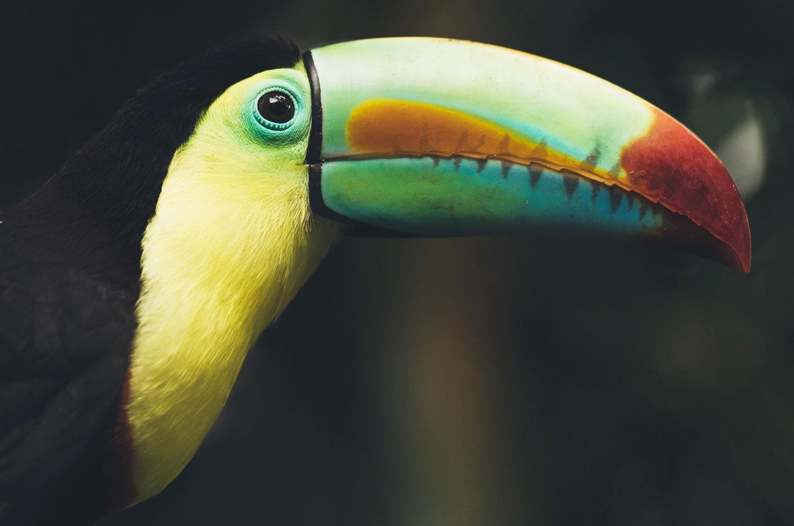 voir les toucans au costa rica tortuguero
