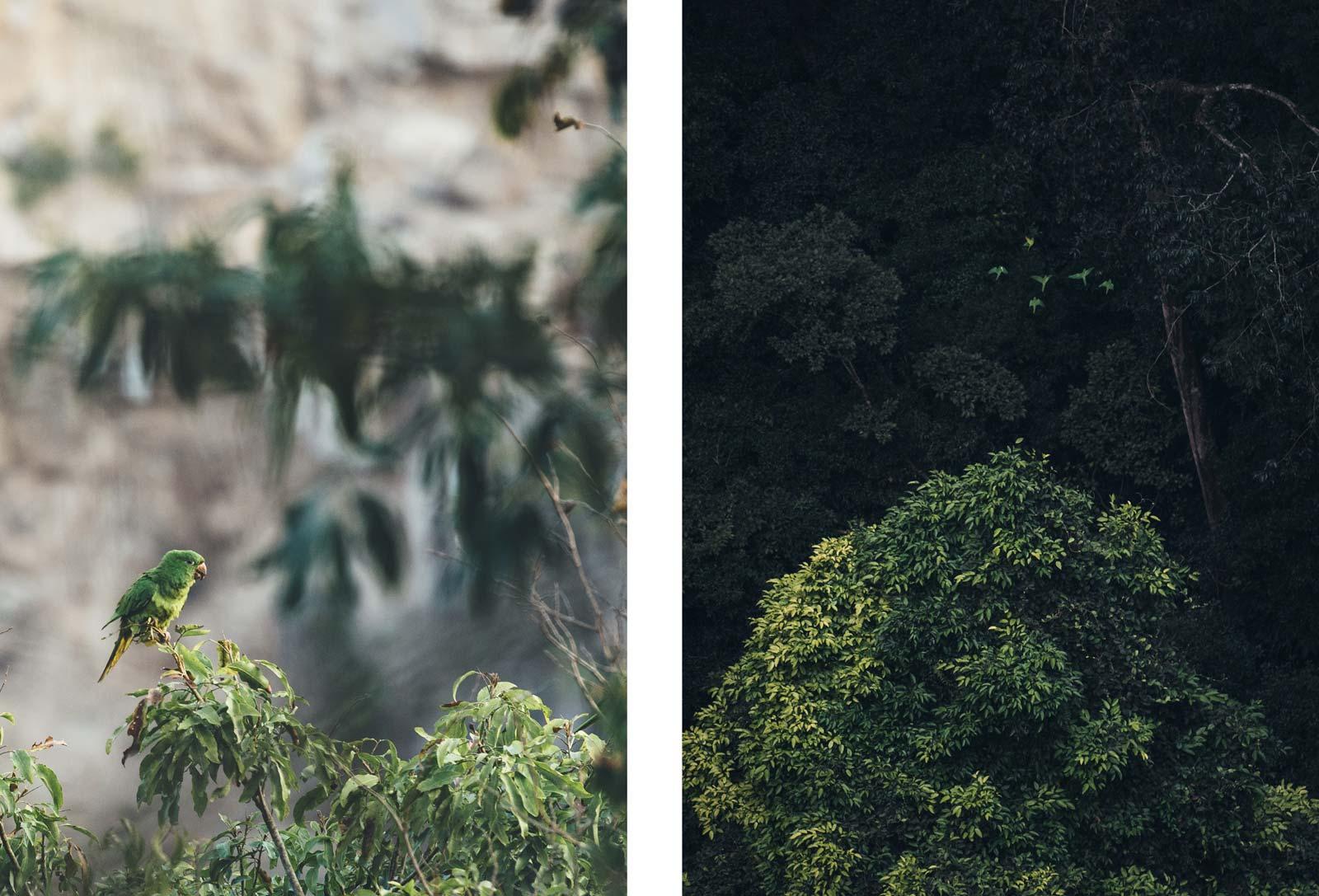 Perroquets verts de la Sima de las Cotorras, Chiapas