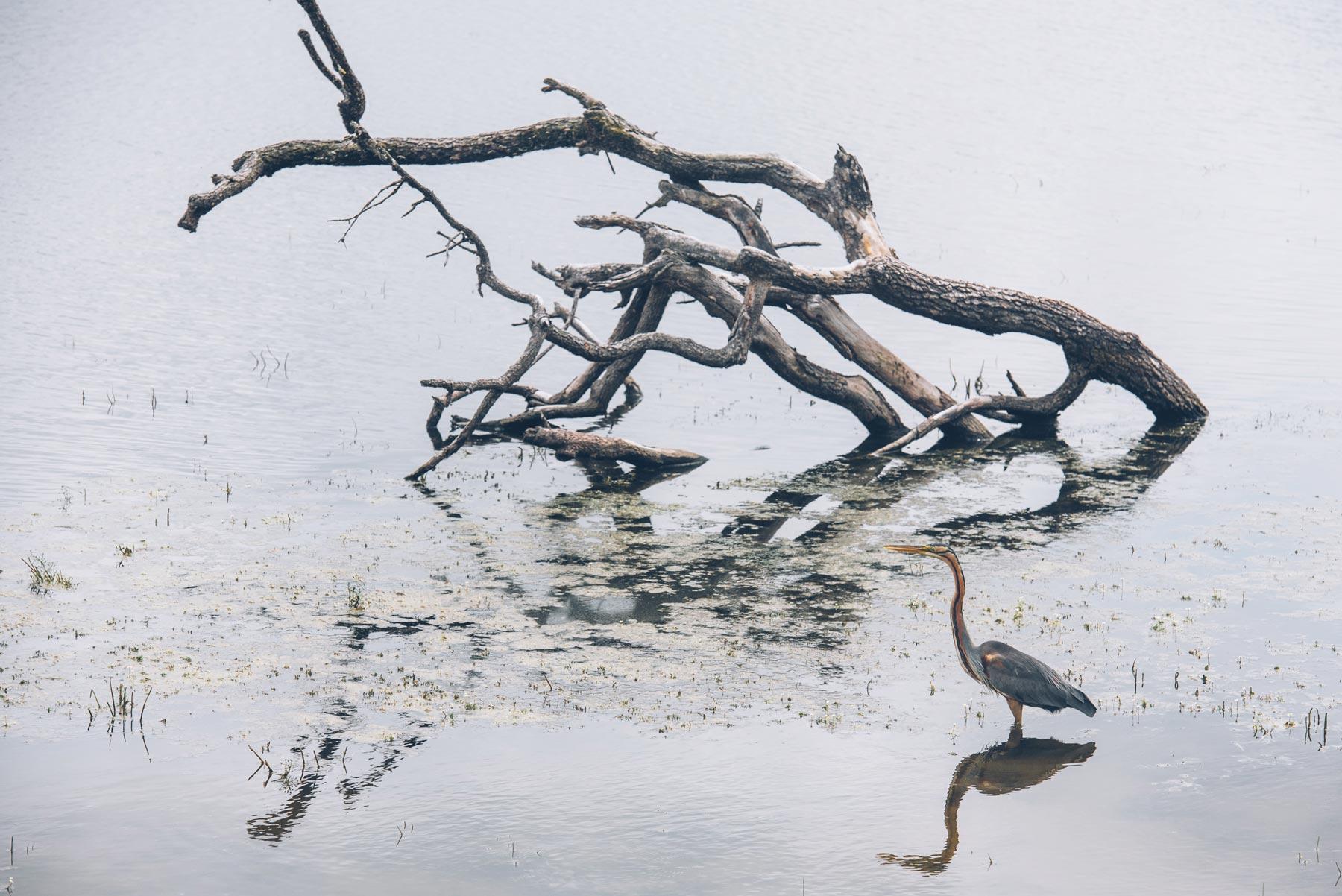 Heron, Parc de la Brenne, Réserve de Chérine