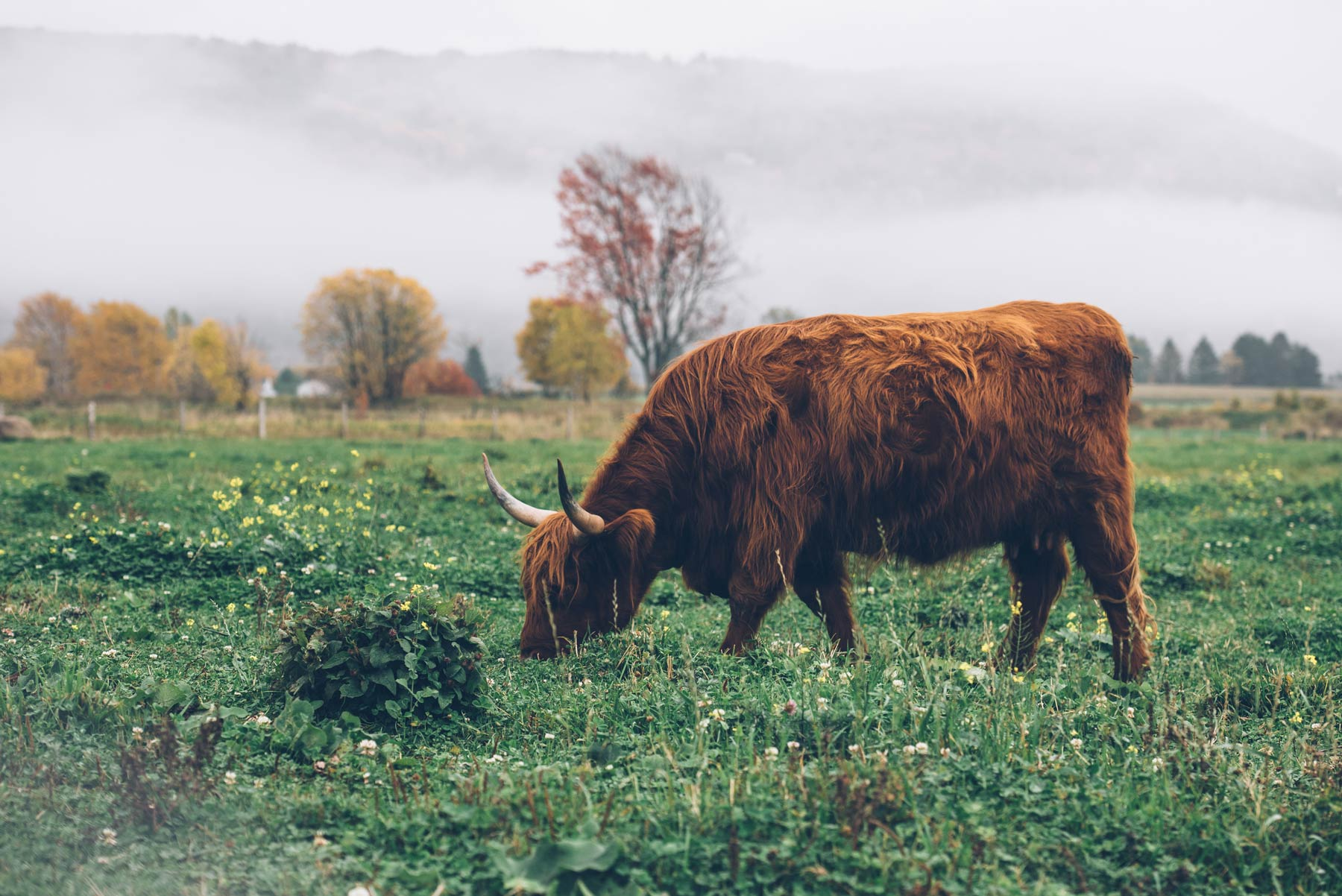 Highland Cattle, Québec