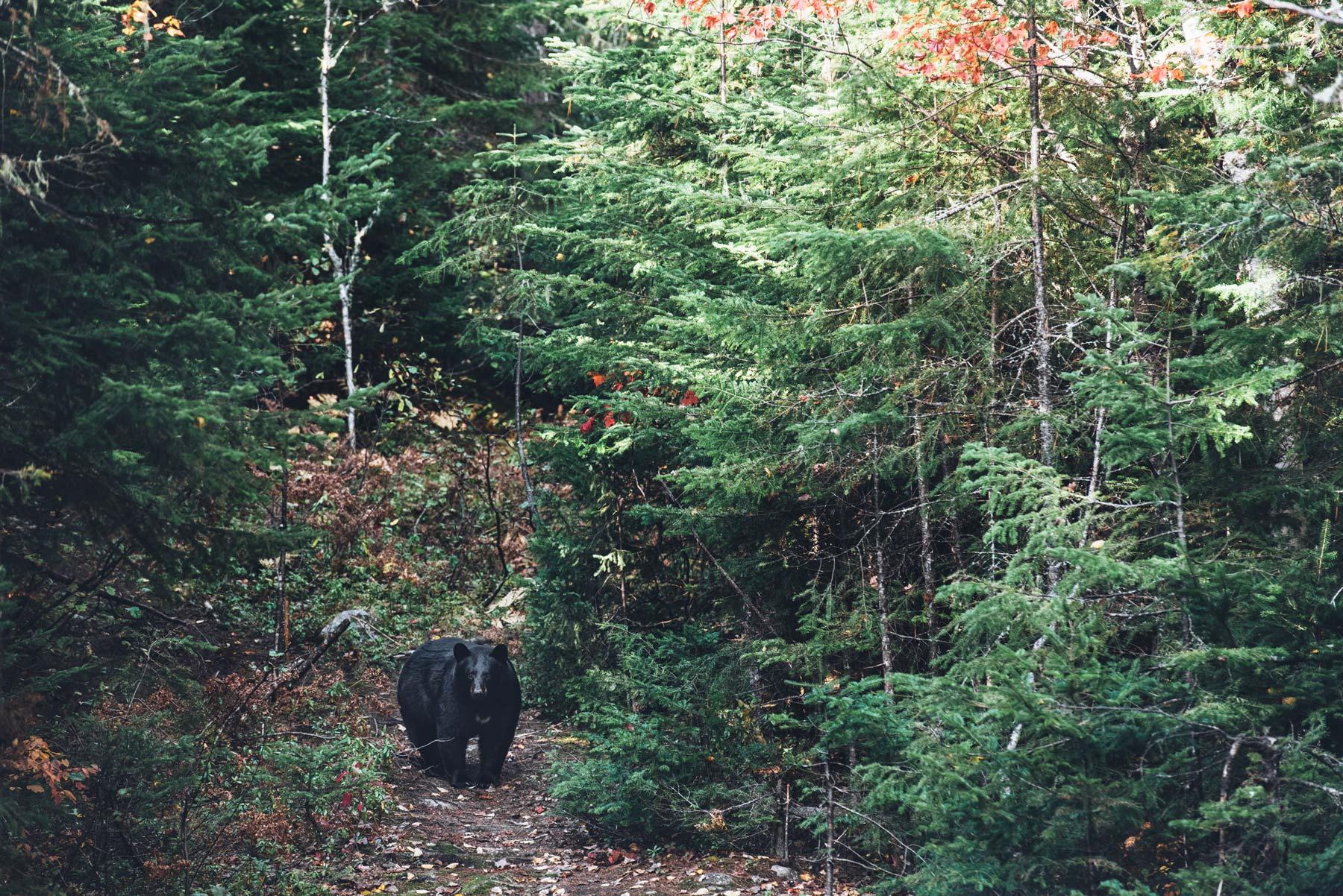 Voir des Ours Noirs au Québec