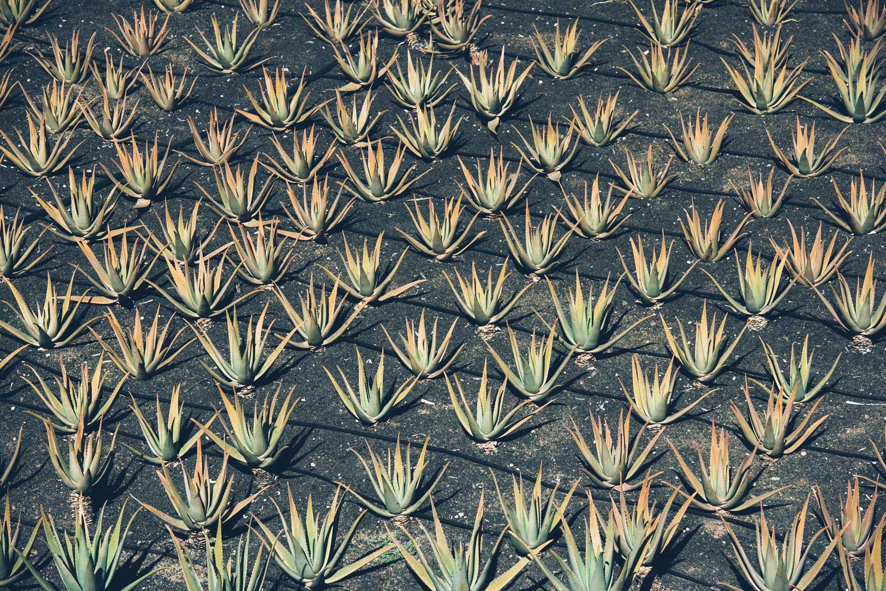 Aloe Vera, Lanzarote, Canaries