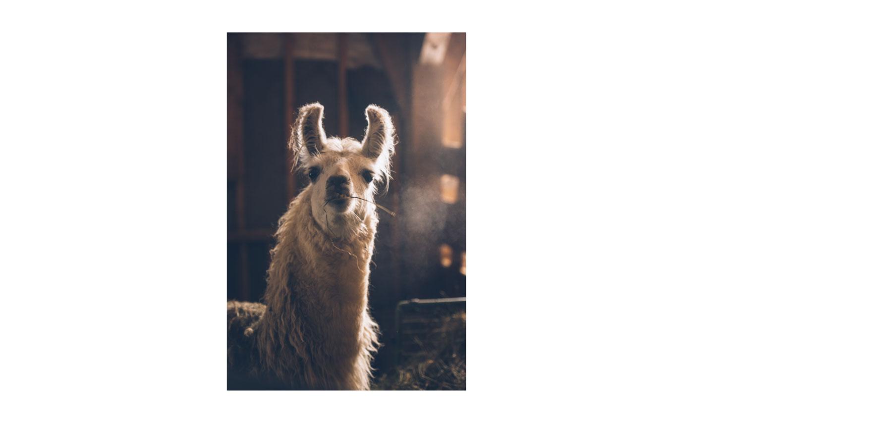 Lama dans le jura