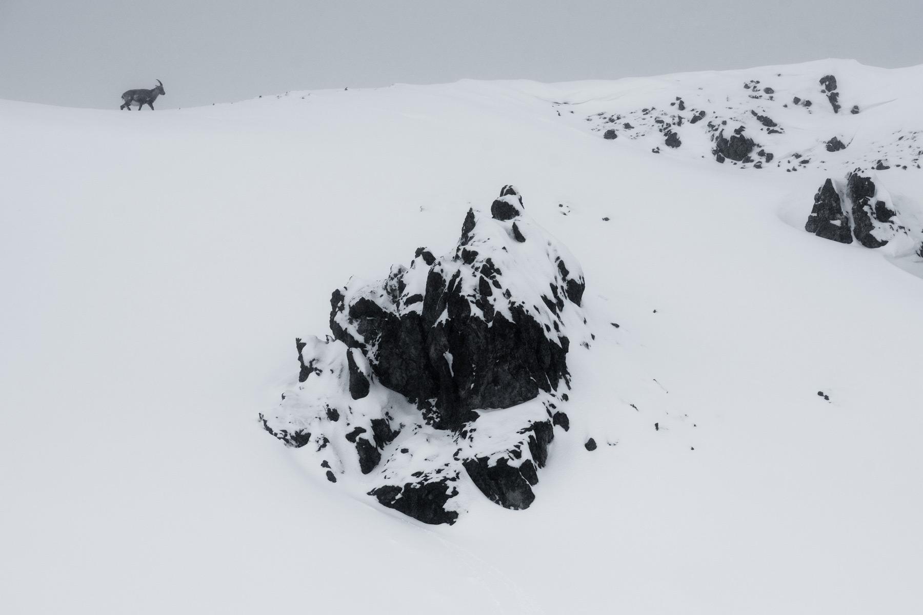 Observation des bouquetins, Davos