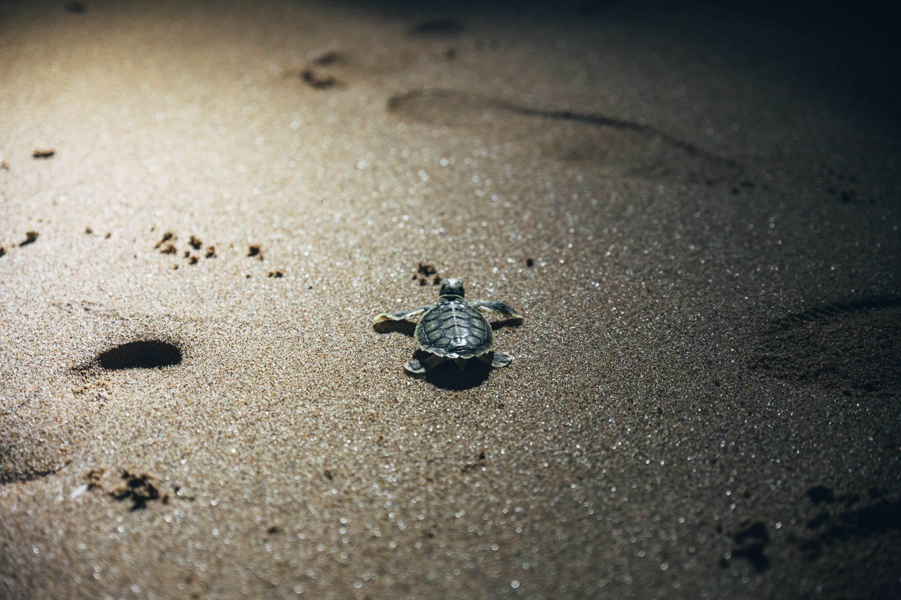 Pour voir les bébés tortues: Mon Repos, Queensland