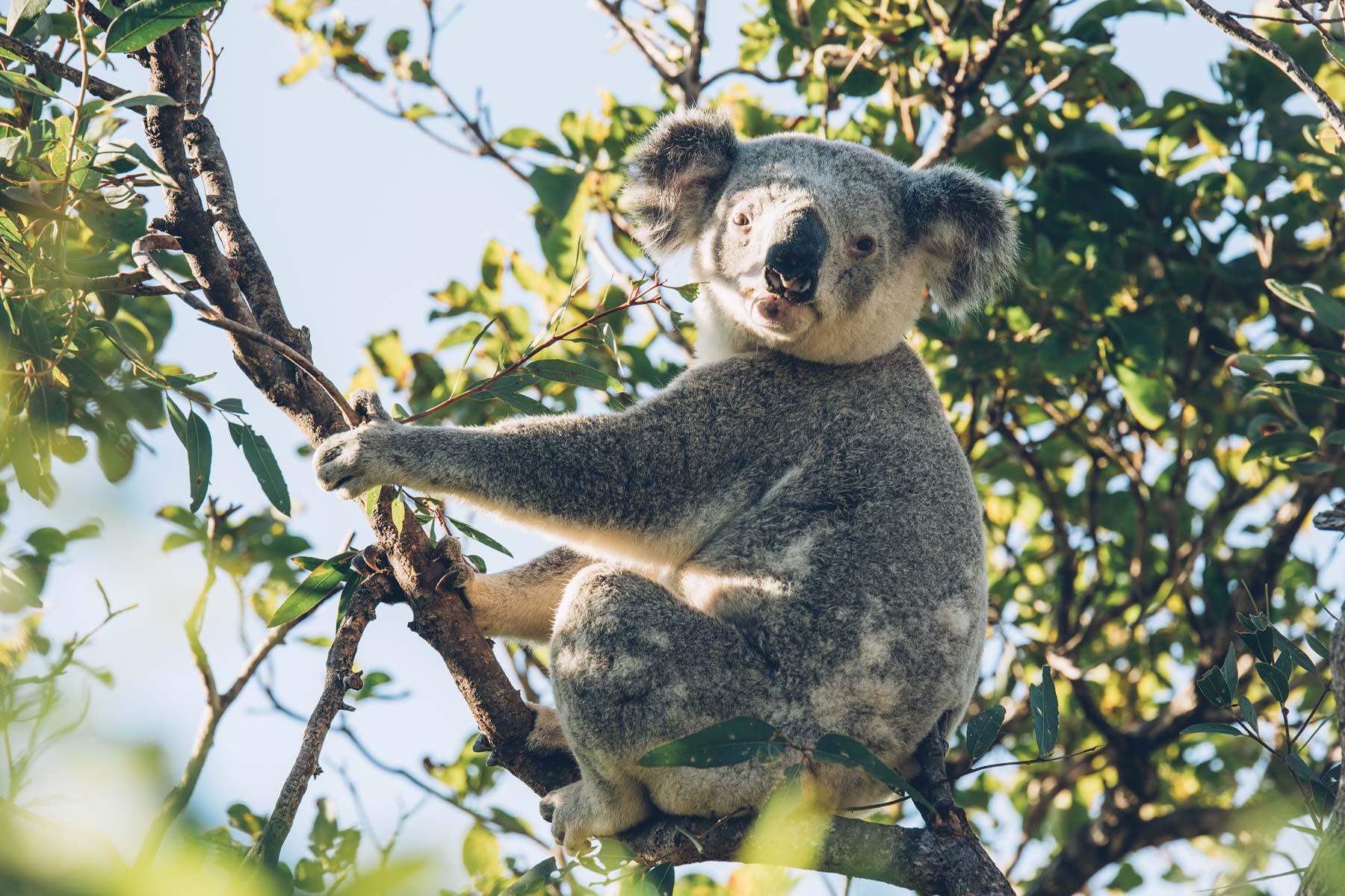 Spot pour voir des koalas: Magnetic Island, Queensland, Australie