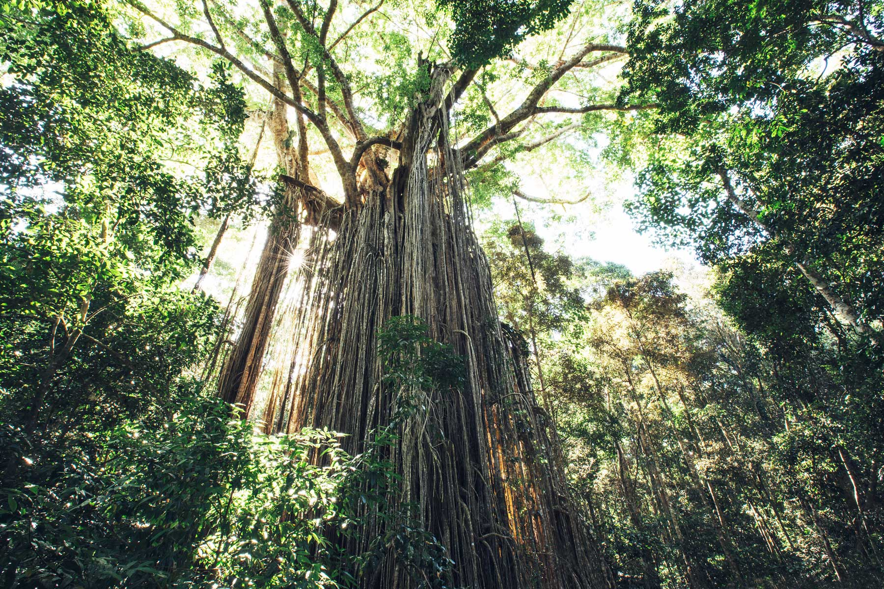 Curtain Fig Tree, Tablelands, Queensland