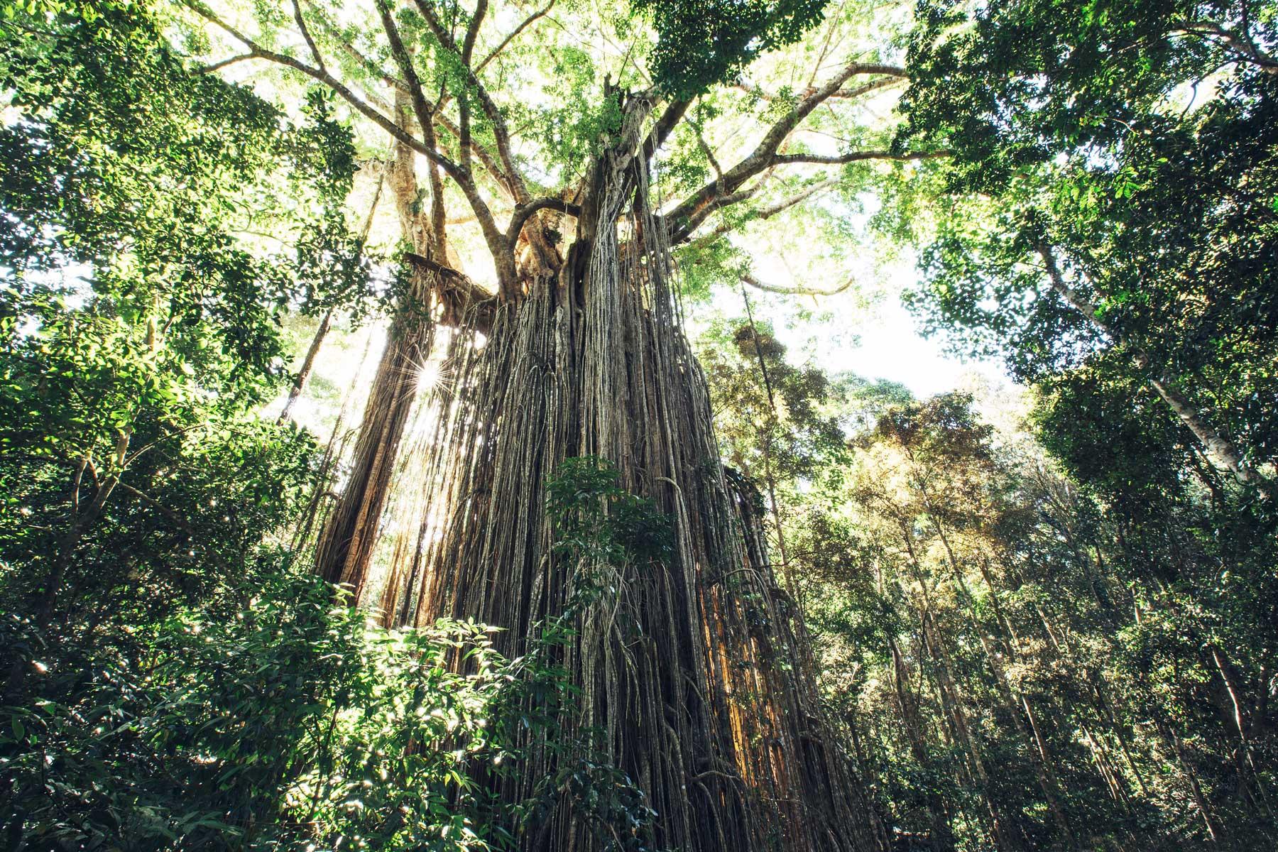 Curtain Fig Tree, Tablelands, Queensland