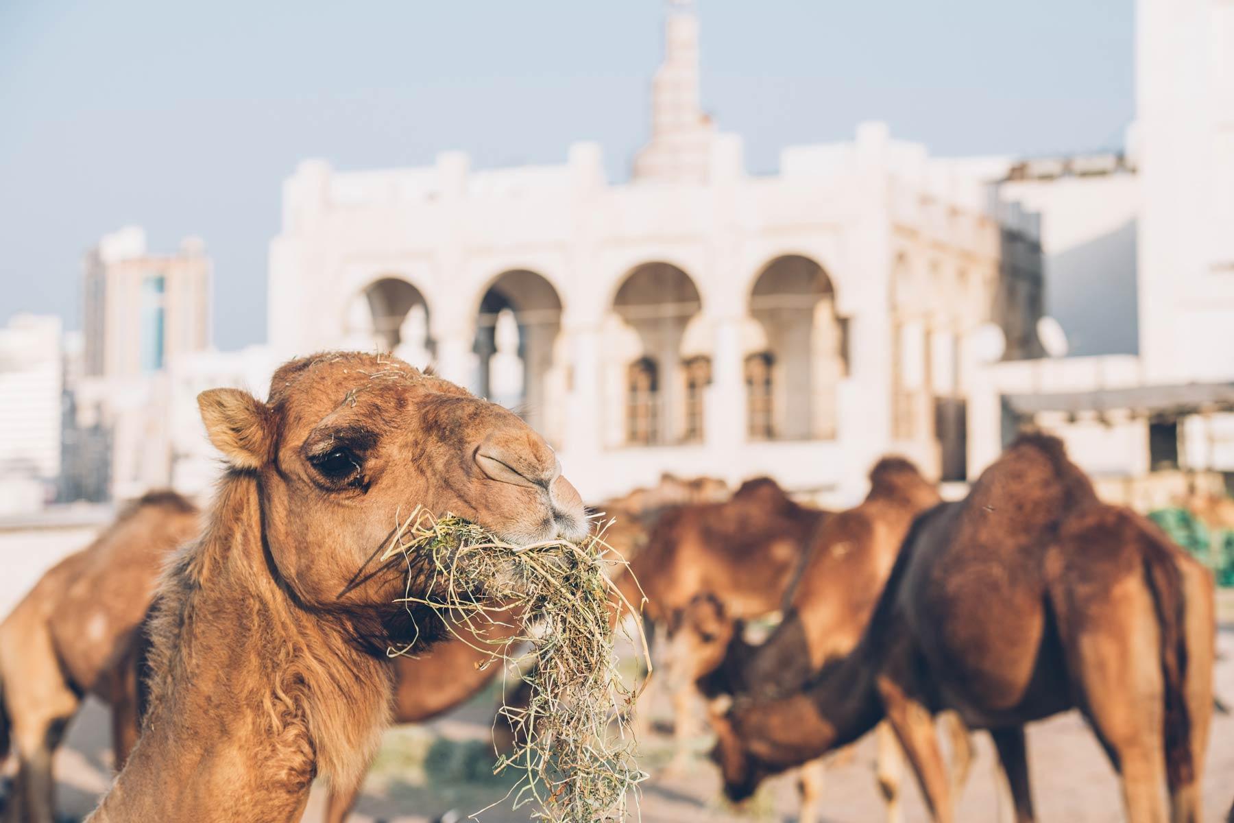 Chameaux, Souq Waqif, Doha