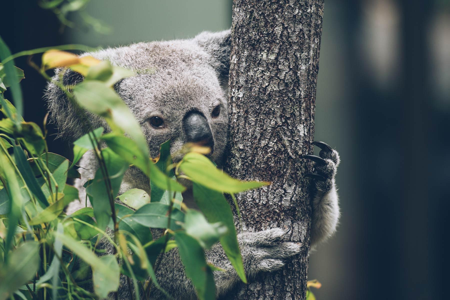 Ou voir les koalas à Brisbane: Daisy Koala Centre