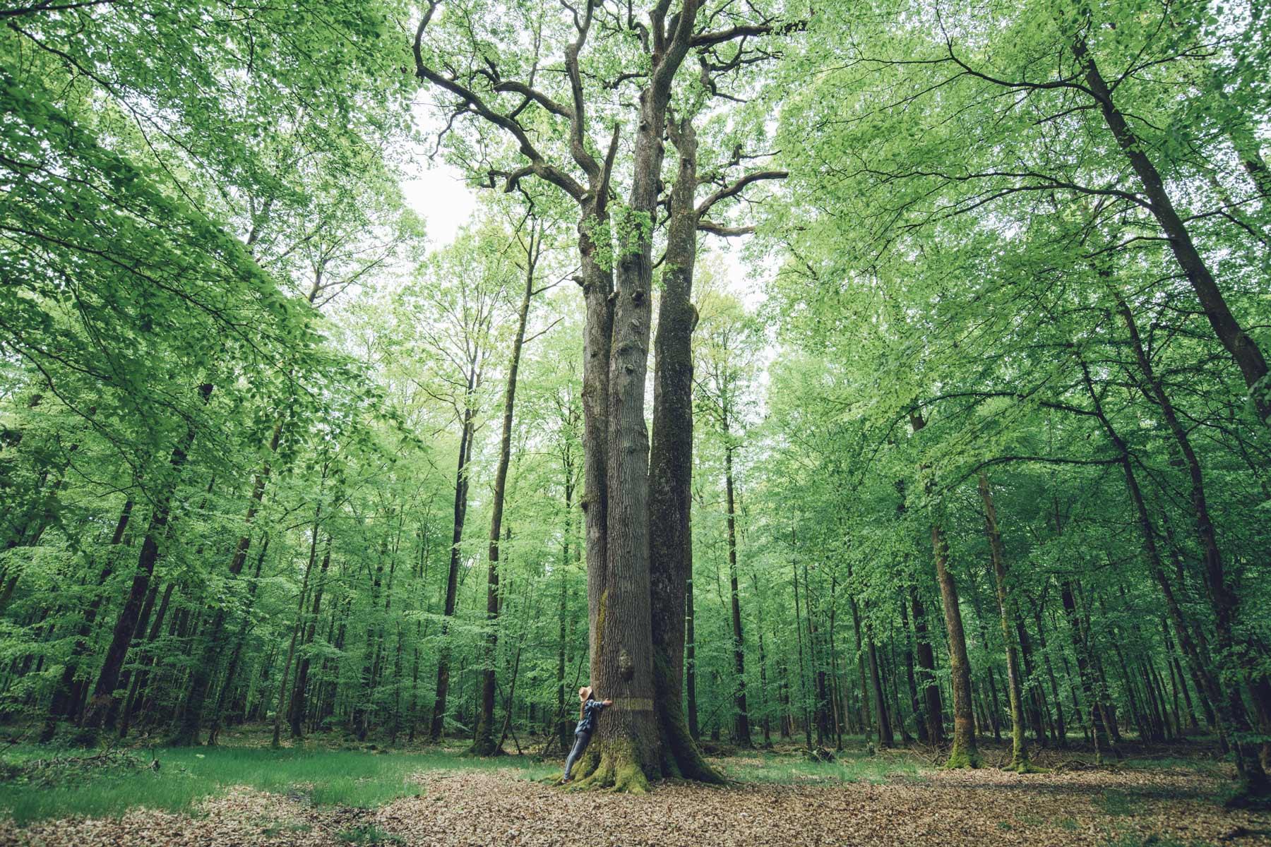 Chêne Les trois frères, Forêt de Senonche, Eure et Loir
