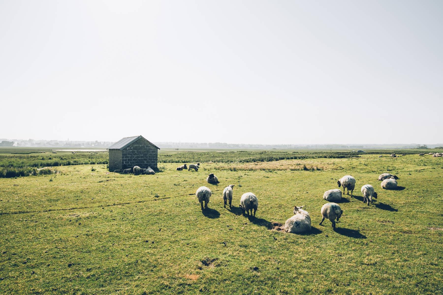 Moutons, Havre de la Vanlée