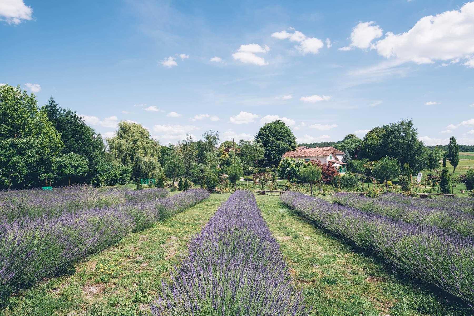 Champs de Lavande en Charente