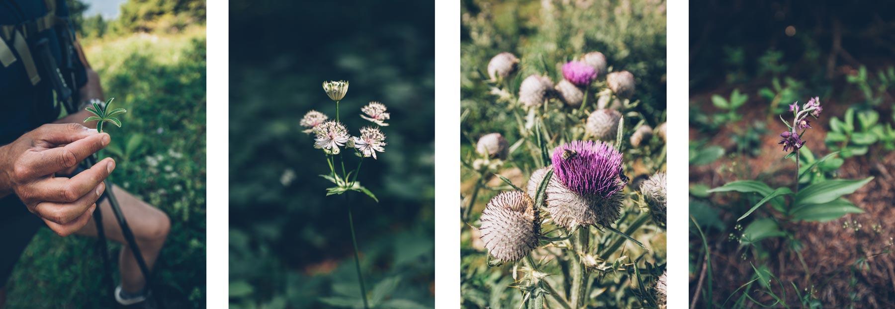 Fleurs du massif du Jura