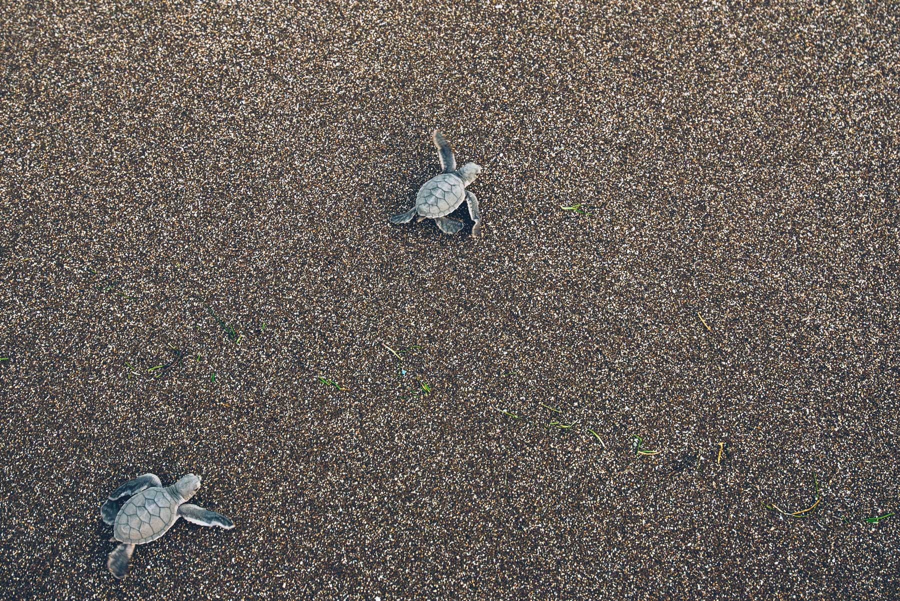 Bébés tortues, Mayotte