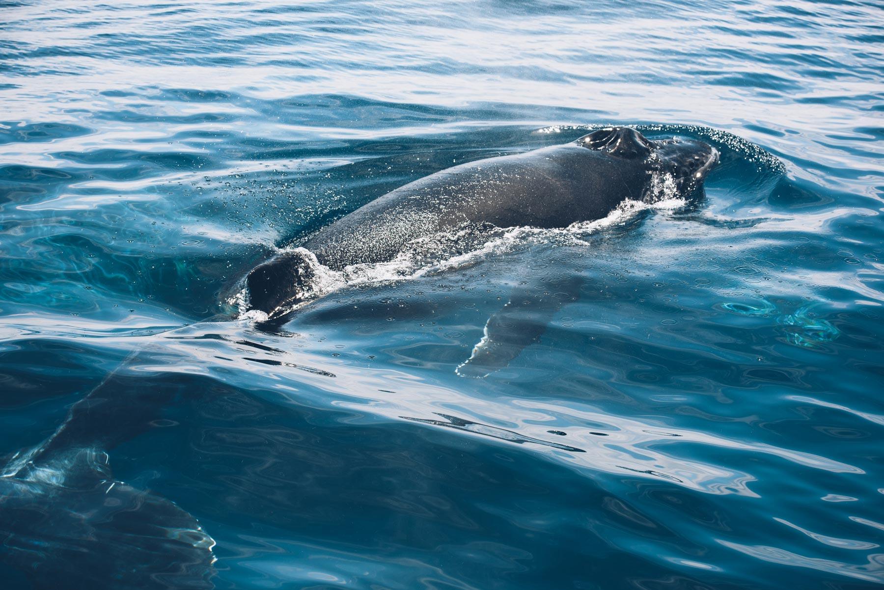 Baleineau dans le lagon de Mayotte