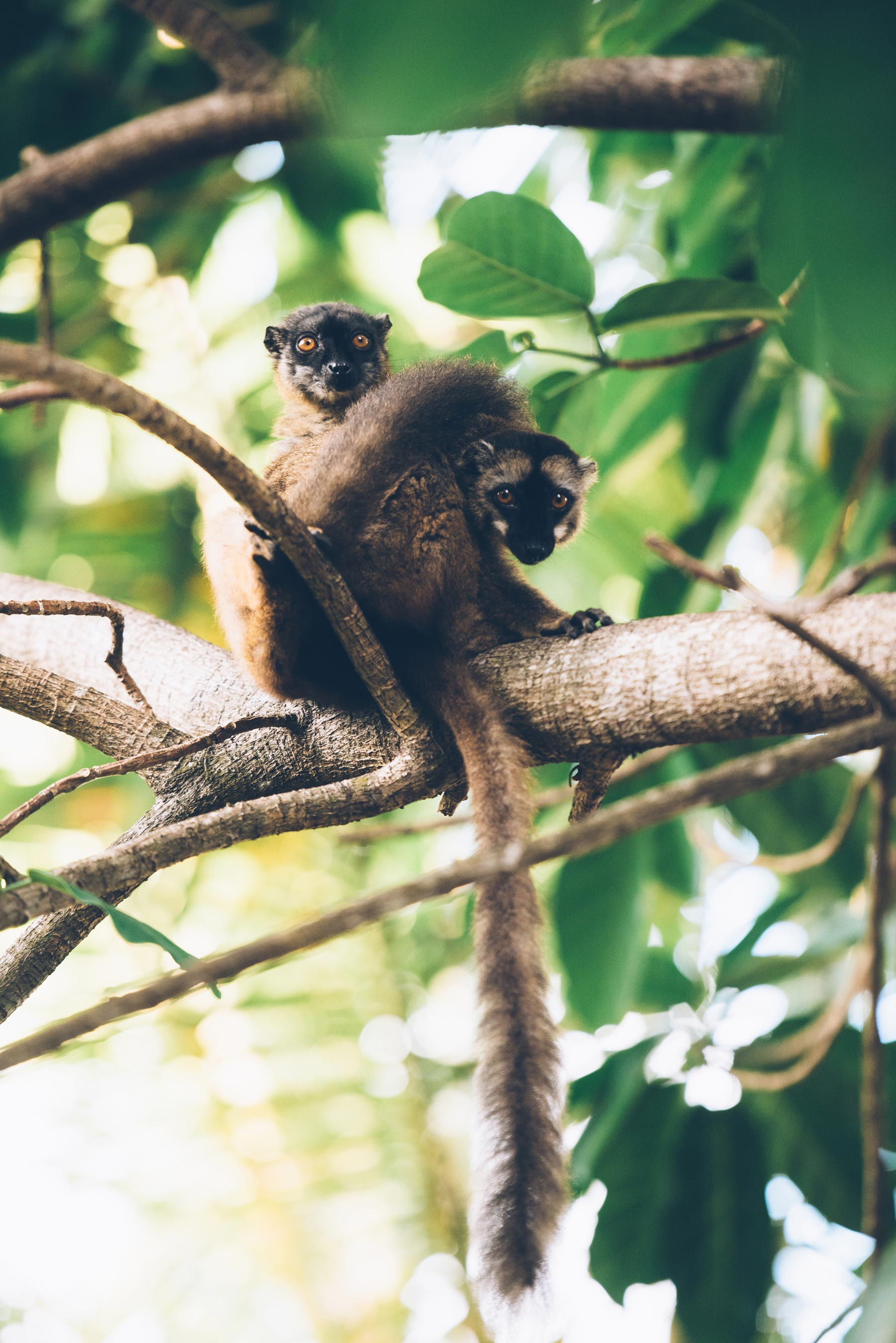 Makis, lémuriens de Mayotte
