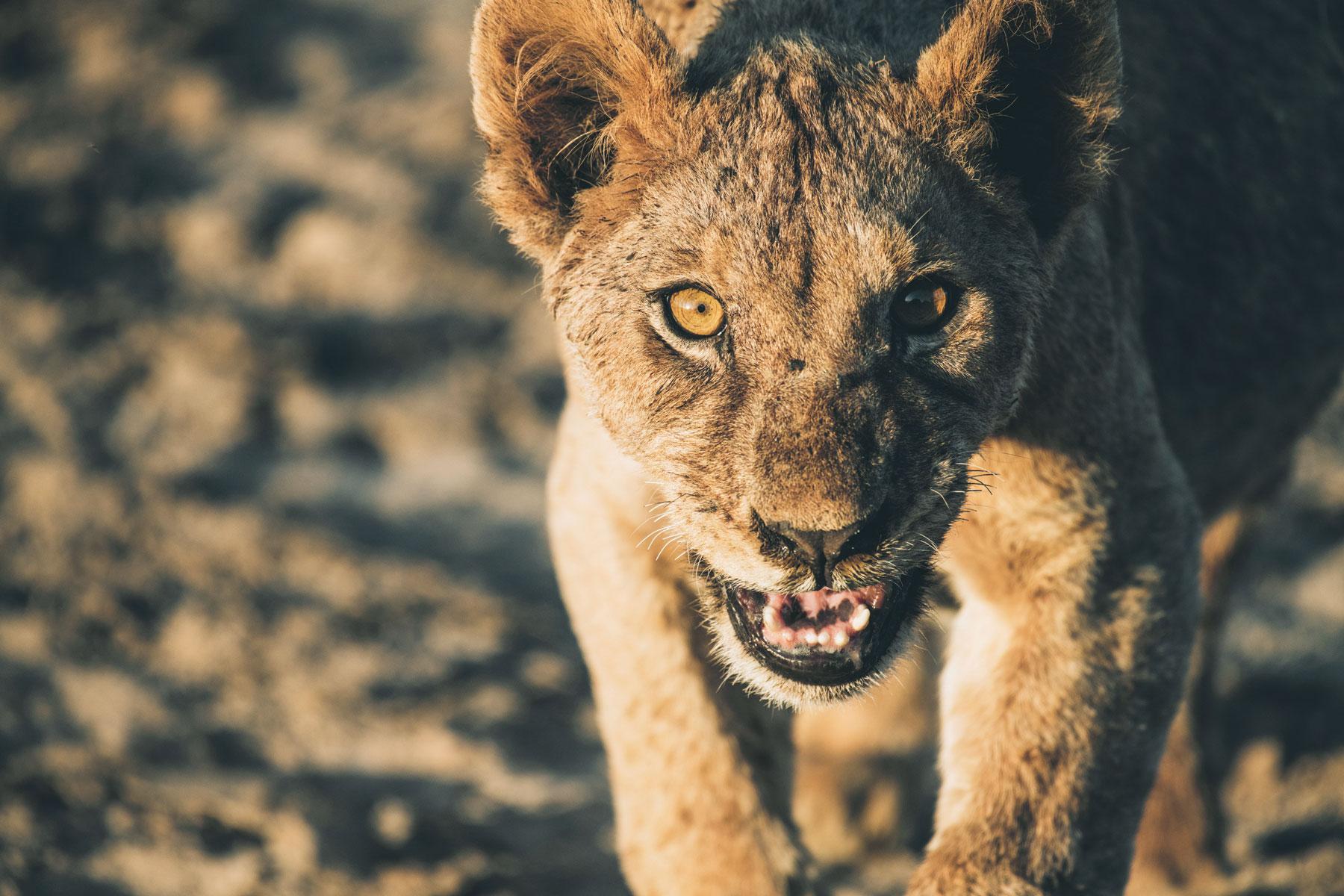 Safari au Kenya, Jeune Lion