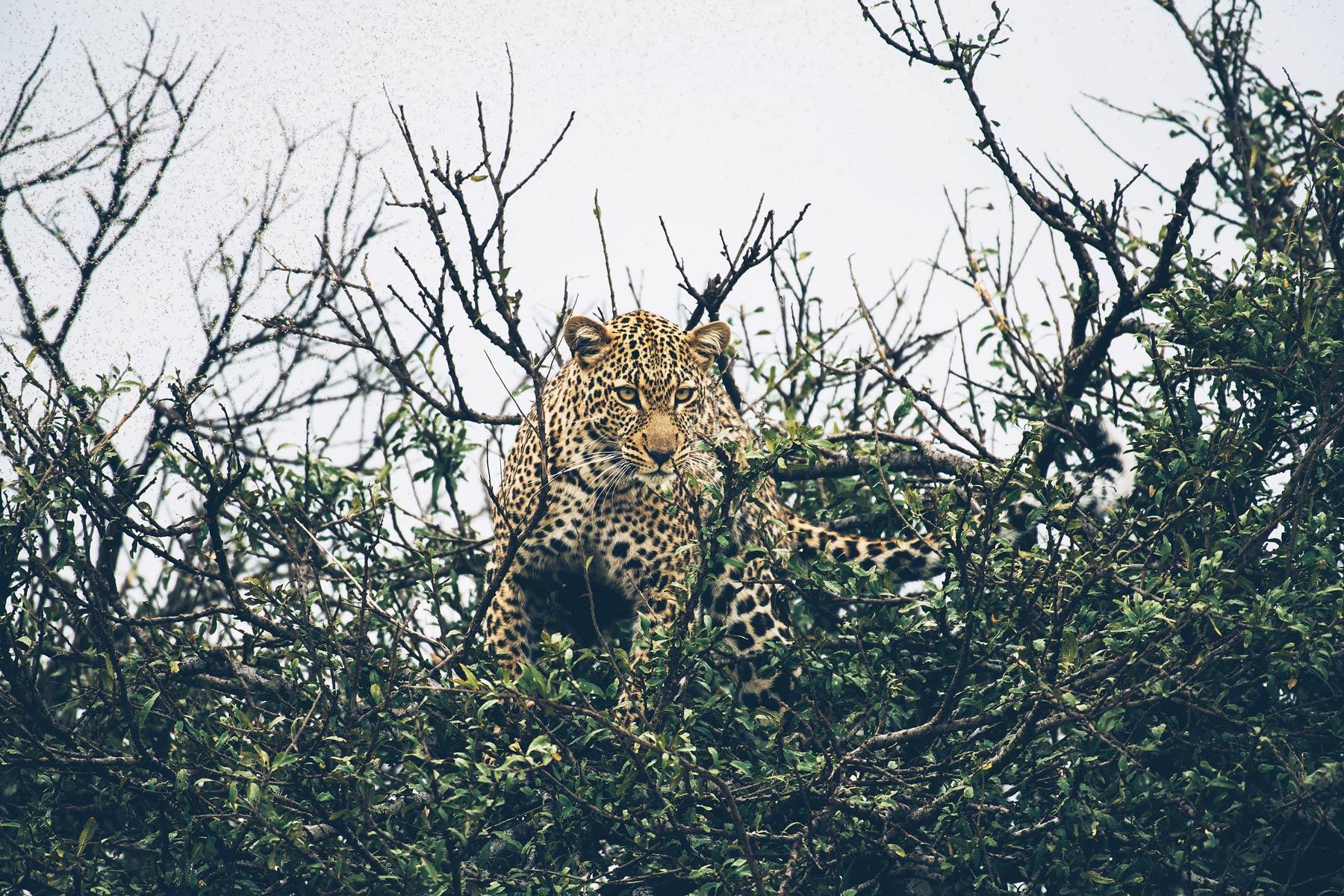 Léopard, Safari au Kenya: Masai Mara