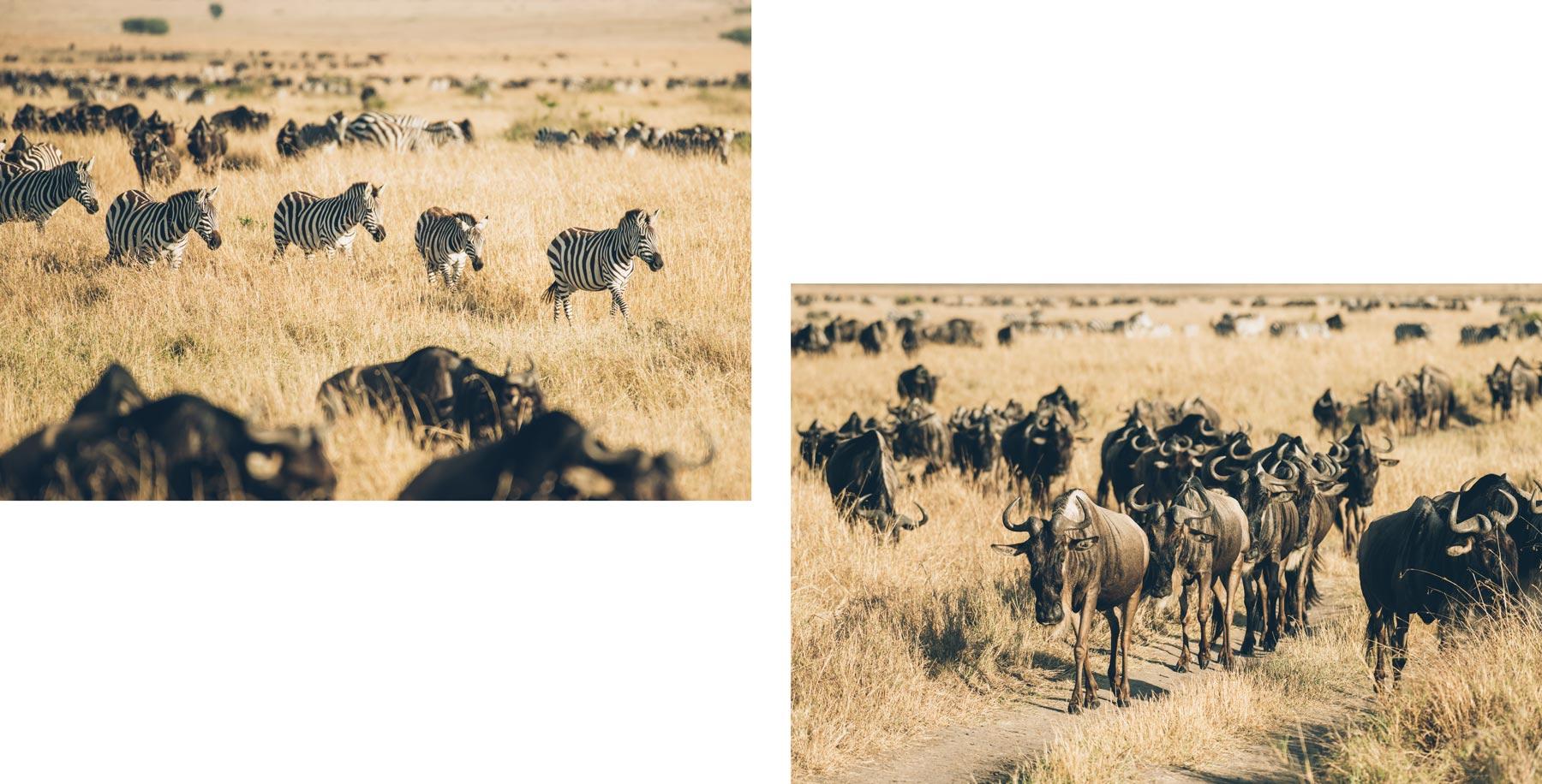 Migration des zèbres et Gnous au Kenya à Masai Mara