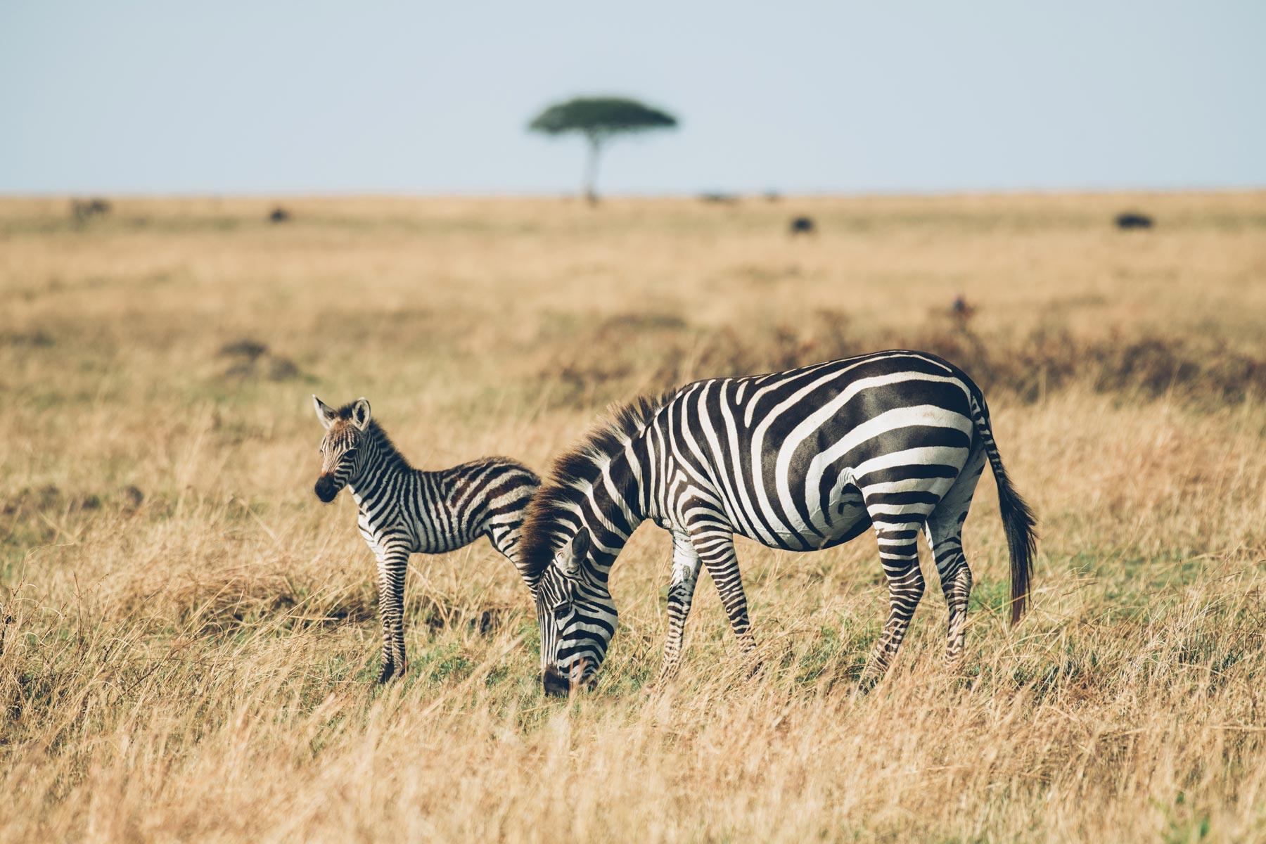 Bébé Zèbre, Kenya, 2018