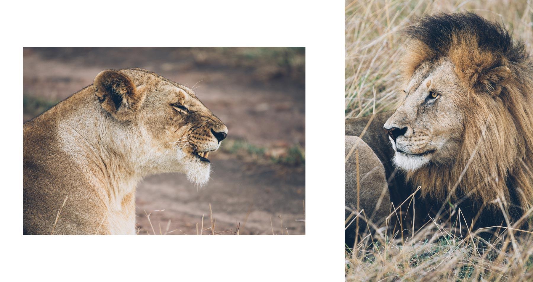 Safari au Kenya, Lion et Lionne