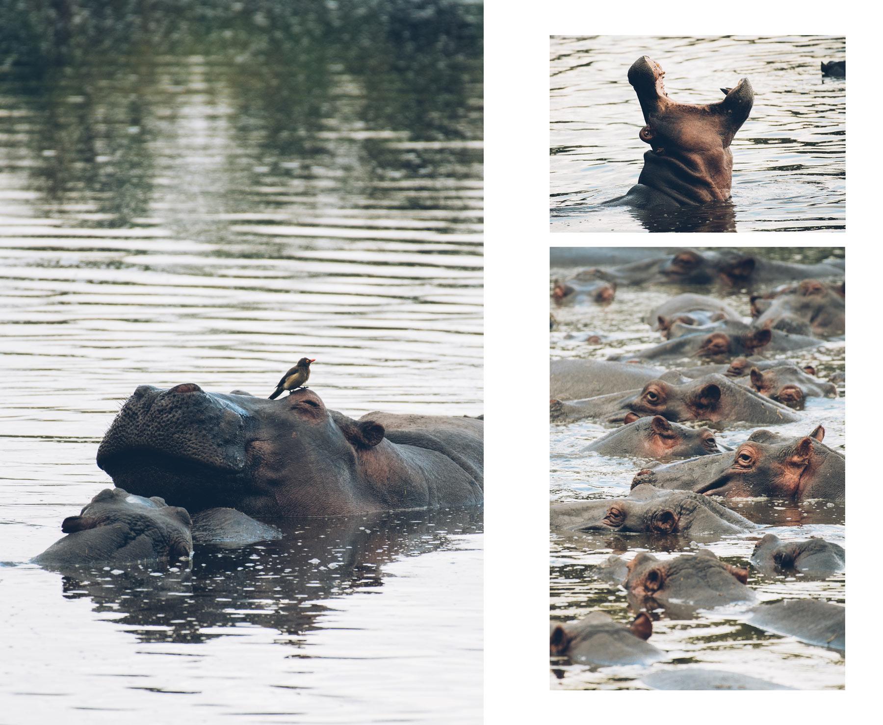 Hippopotames, Keekorok Lodge, Masai Mara