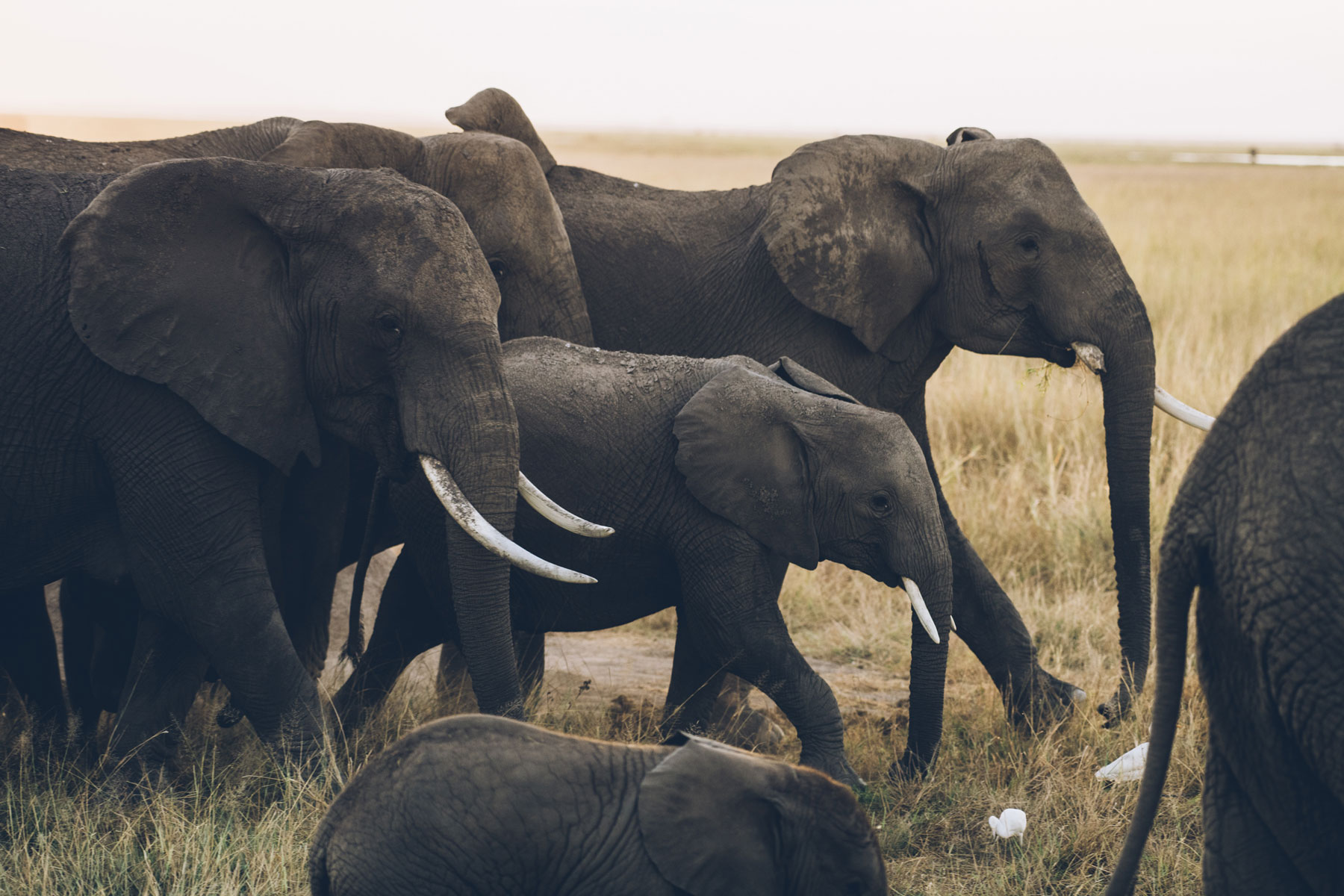 Troupeau d'Eléphants, Parc National Amboseli, Kenya