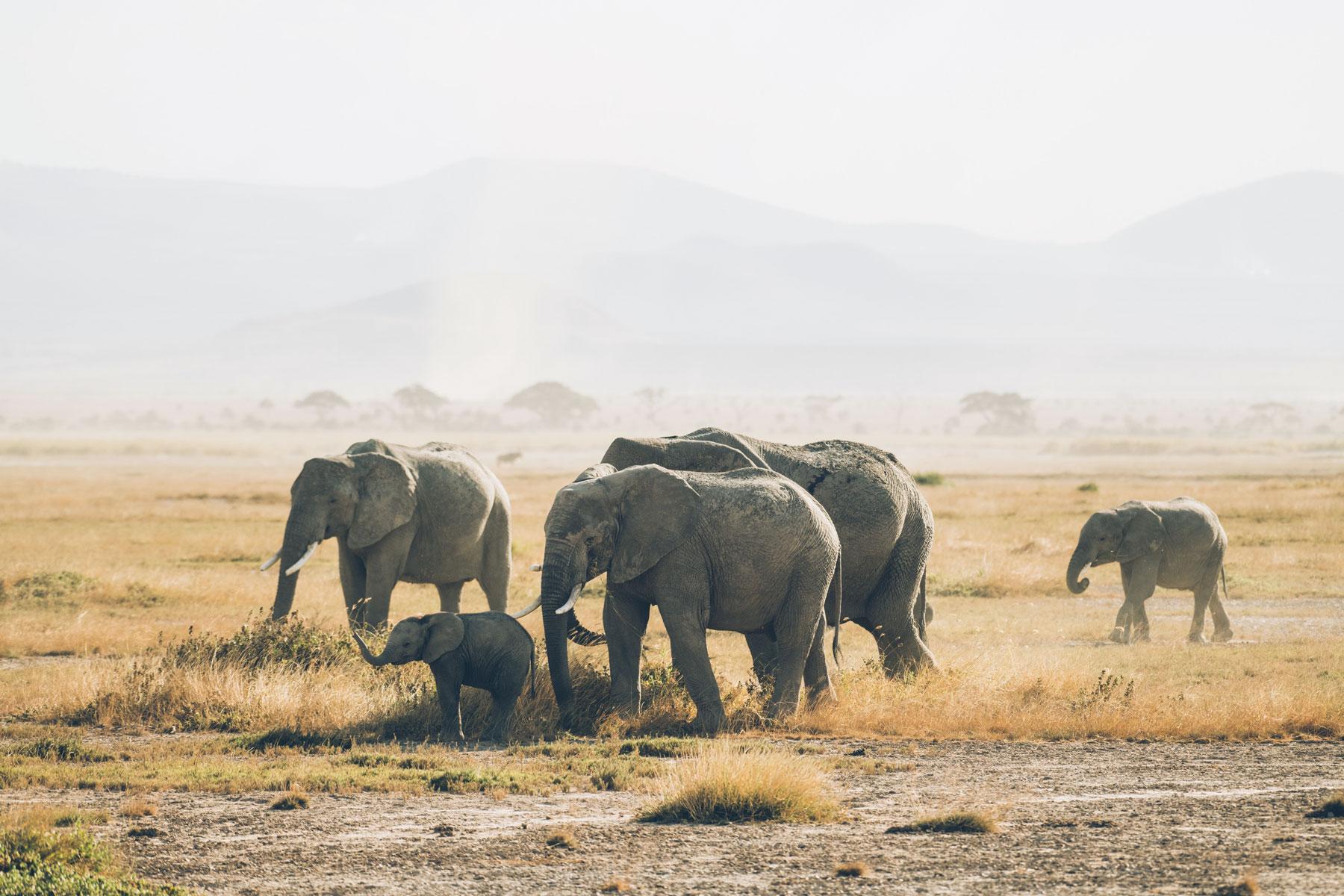 Où voir les Eléphants en Afrique: Parc National Amboseli, Kenya