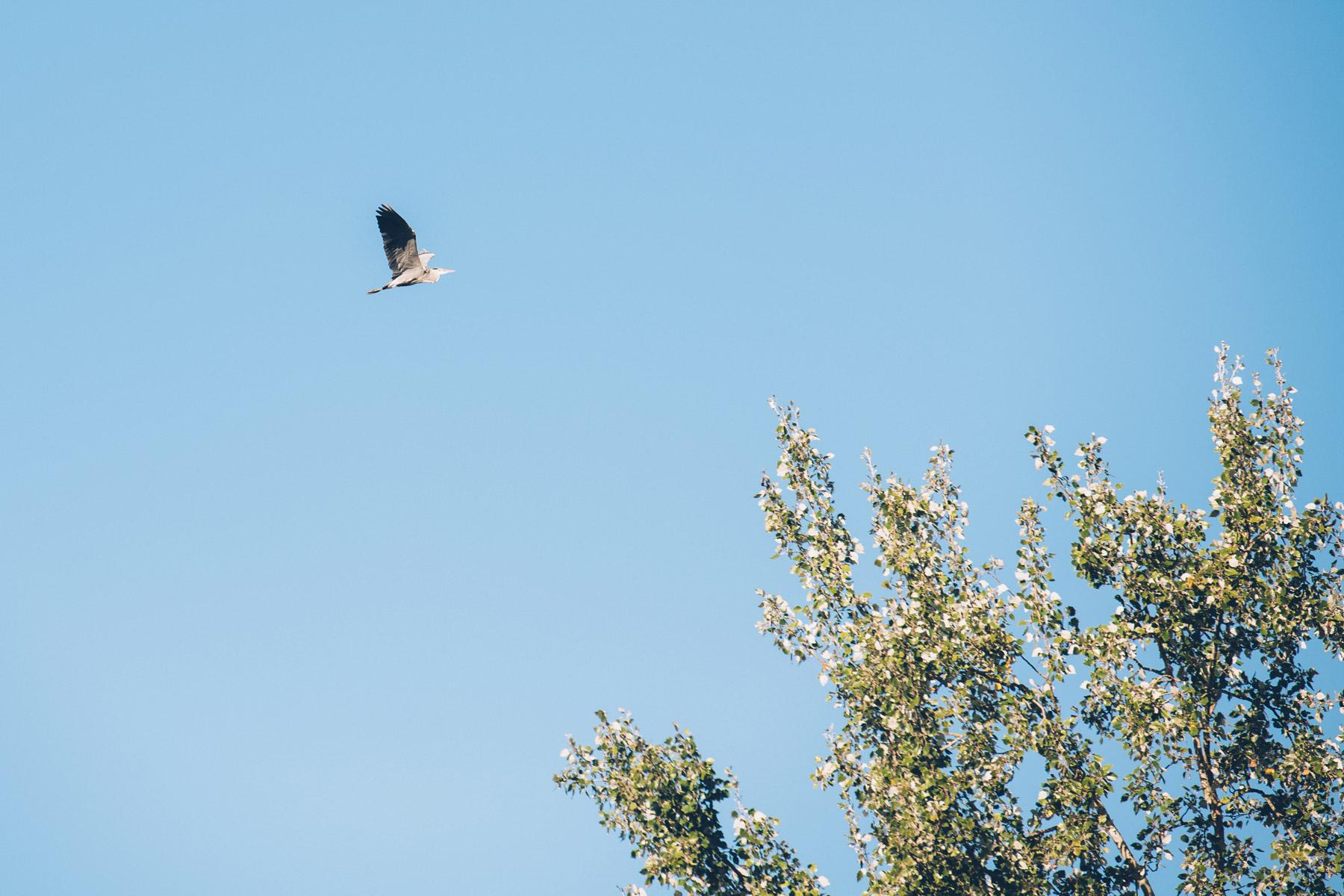 Heron, Ile de Rhinau